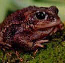 toads jewel illo